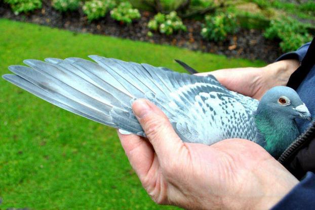 Aile de pigeon 3