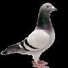 Pigeon26